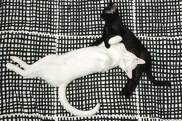 black-and-white-kitties